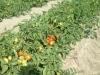 pomodoro-industria-x-web-1_2964306127